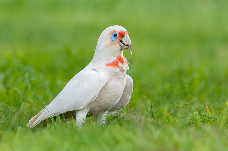 Long-billed Corella - Cacatua tenuirostris (Wattle Park, Vic)
