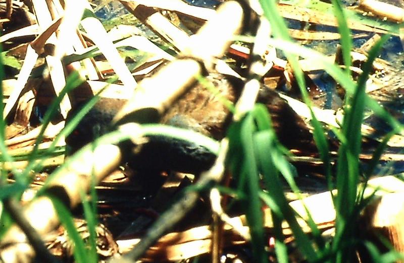 Water Weasel