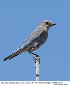 Mountain Bluebird M73079.jpg