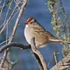 White-crowned Sparrow (1st winter)