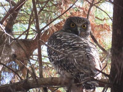 Powerful owl 14 Aug 2015