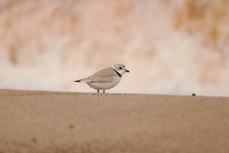 Piping Plover populations on the Great Lakes are endangered due to human disturbance (dogs, humans, development) so seeing one is a rare treat [May; Park Point, Duluth, Minnesota]