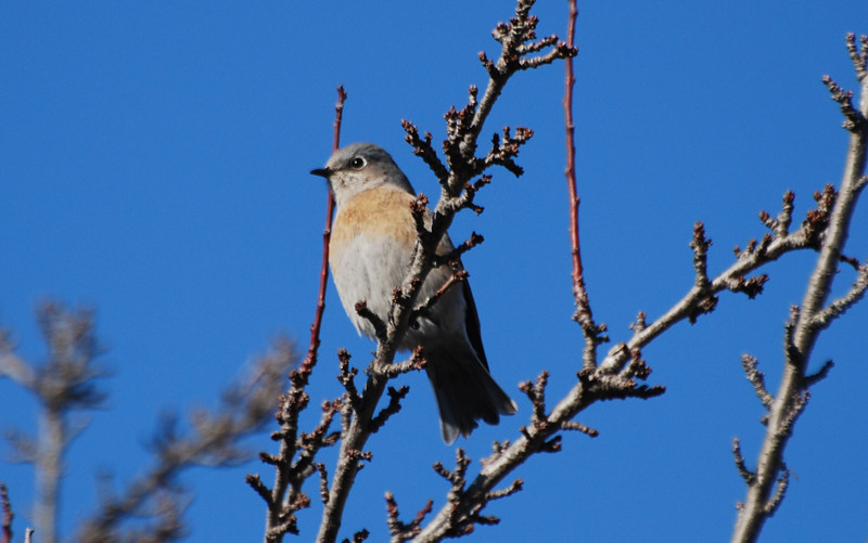 Western Bluebird (4).JPG