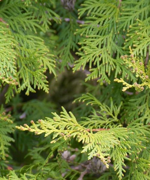 Chestnut-sided Warbler Park Point Duluth MN IMG_000005 - Version 2.jpg