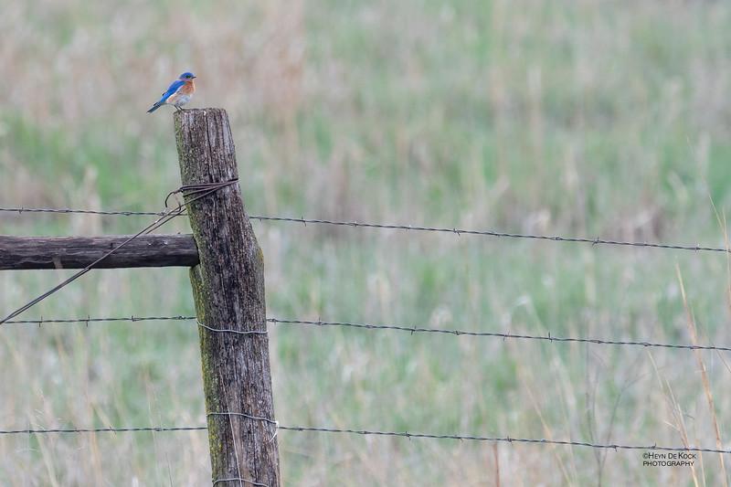 Eastern Bluebird, Burchard, NE, US, May 2018-1.jpg
