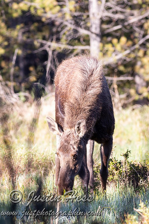 Kawuneeche Valley Moose 06-04-2018