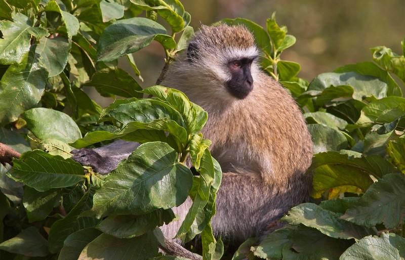 Black-faced Vervet Monkey