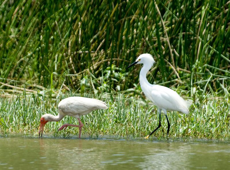 Ibis and egret, Venice LA.