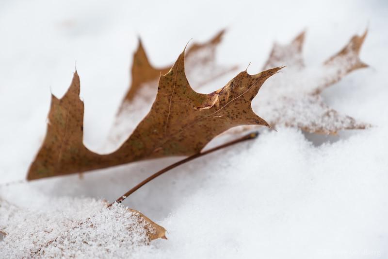 oak leaf in snow