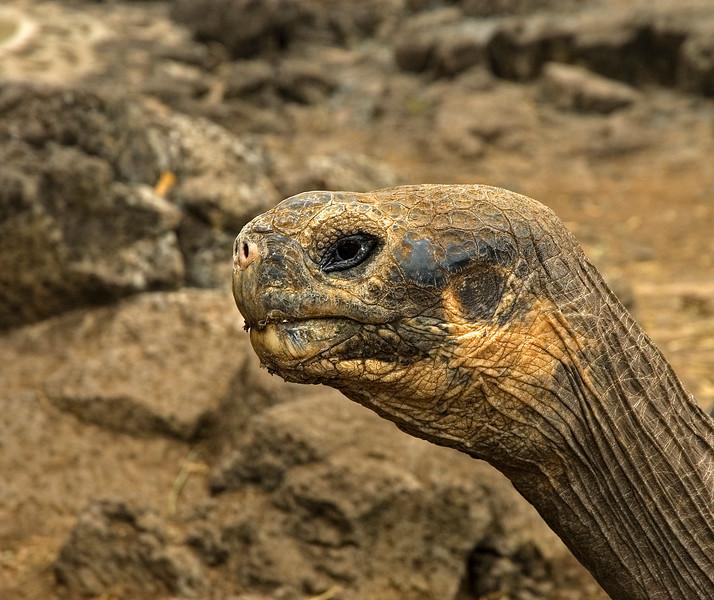 Tortoise_Galapagos Islands
