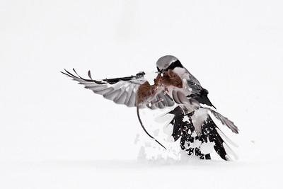 Dzierzby / Shrikes