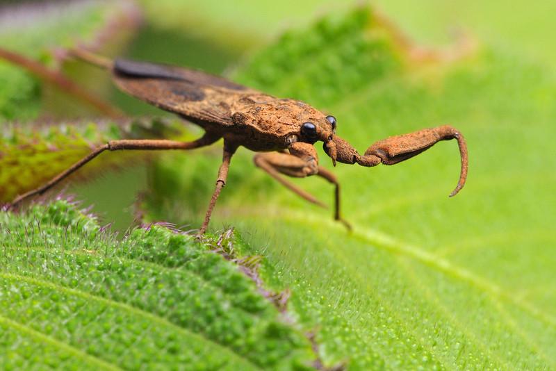Water Scorpion