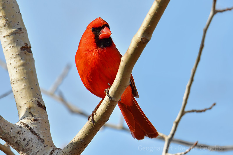Male Cardinal in Spring light