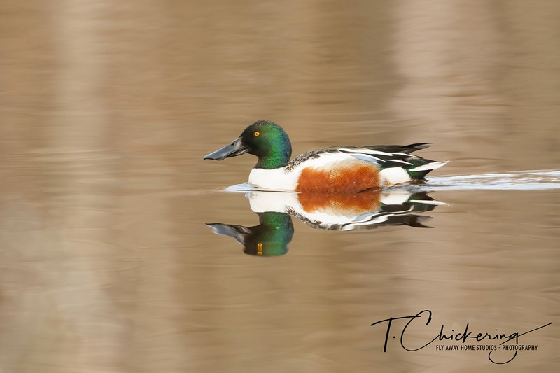 Northern Shoveler Drake Three-1506030351721.jpg