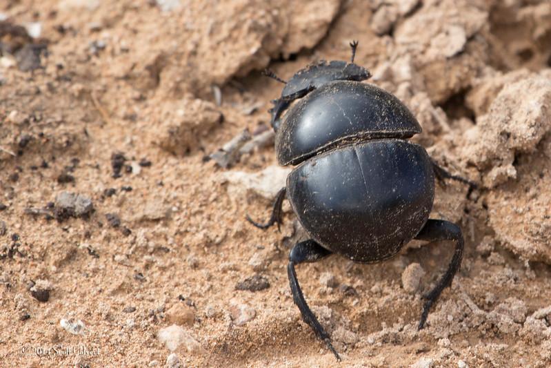 Dung Beetles-4.jpg