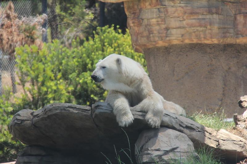 20170807-112 - San Diego Zoo - Polar Bear.JPG