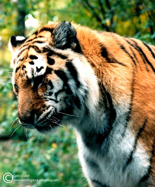 Tiger portrait WM.jpg