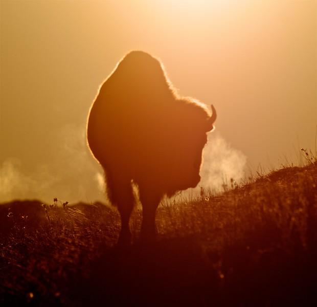 Bison backlit sunrise Teddy Roosevelt National Park ND IMG_6005.jpg