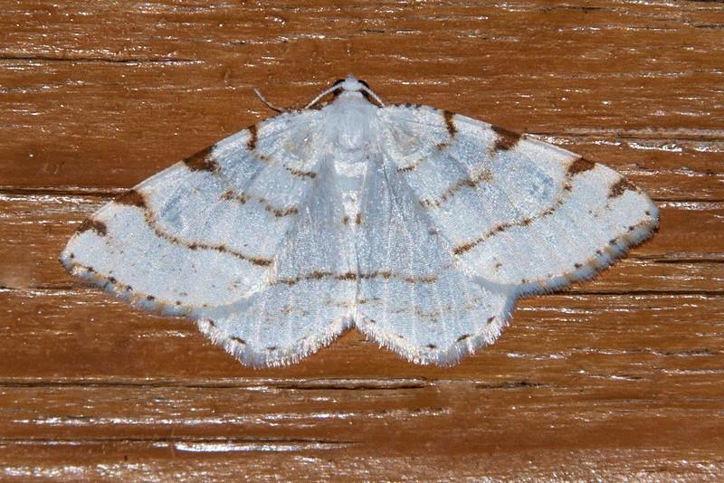 Spanworm - Lesser Maple - (Speranza (Macaria) pustularia) - Dunning Lake - Itasca County, MN