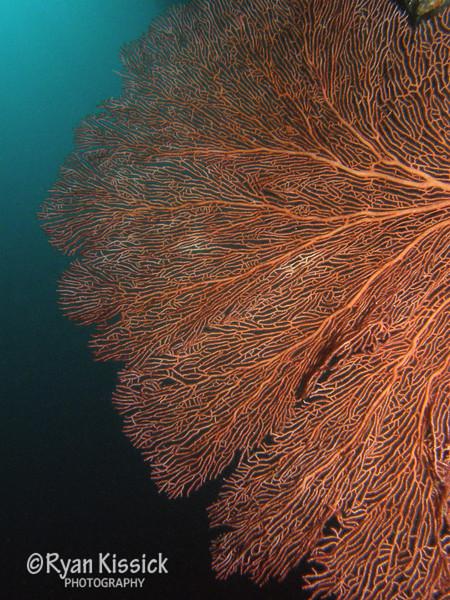 Large sea fan