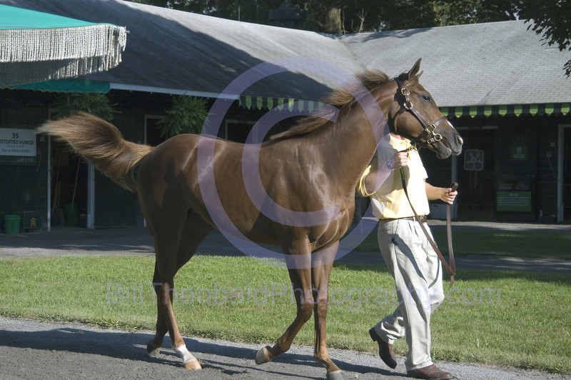 A yearling, soon to pass through the Fasig Tipton sales pavillion in Saratoga Springs.