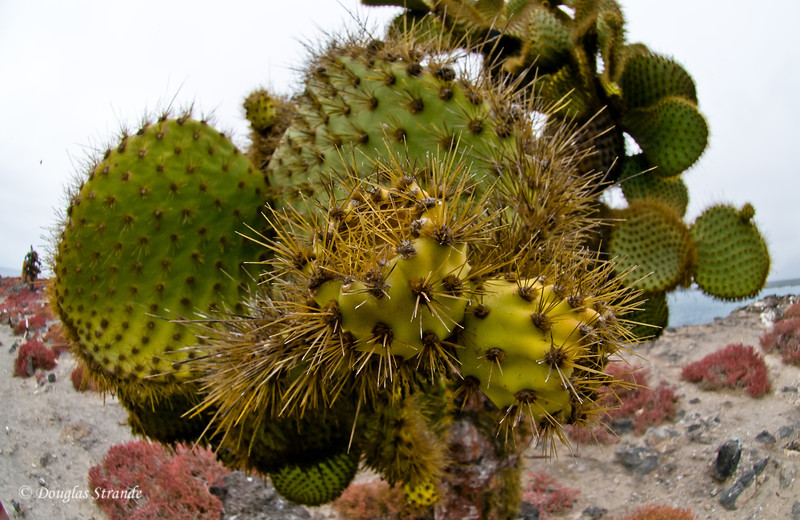 Opuntia Cactus needles, South Plaza Island