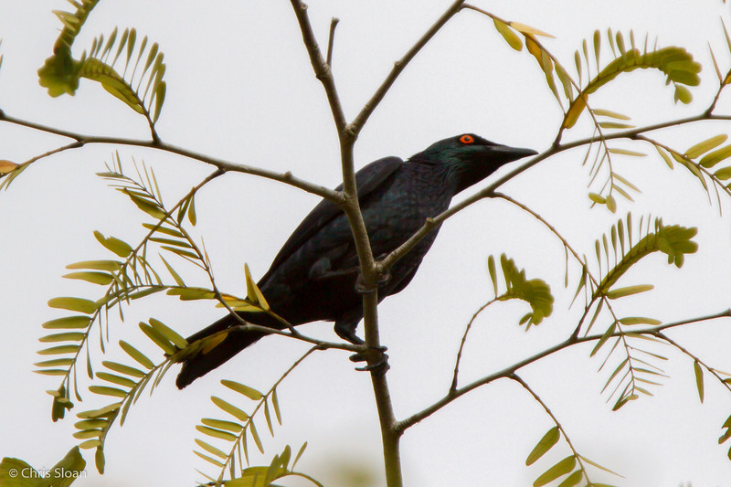 Singing Starling at Pacific Adventist University, Port Moresby, Papua New Guinea (09-29-2013) 009-319.jpg