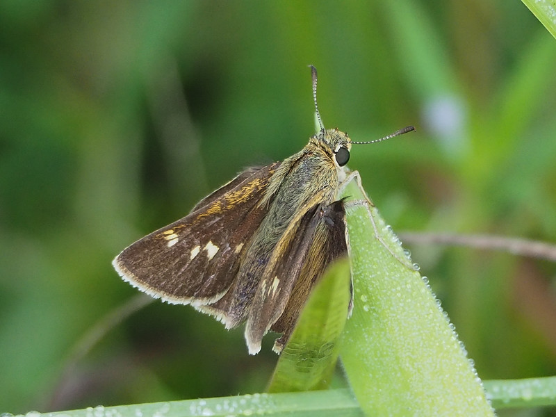 Little Glassywing Skipper, female