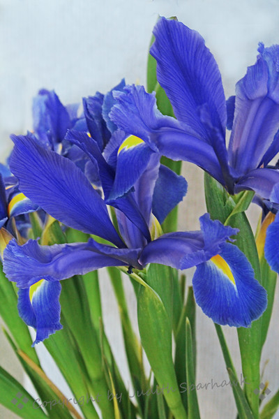 Iris by Van Gogh ~ As beautiful as the big fluffy iris are, one of my favorites is the simple blue Dutch iris.  They always make me think of Van Gogh's painting of the blue iris growing in a garden.