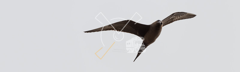 The parasitic jaeger (Stercorarius parasiticus), also known as the Arctic skua, Arctic jaeger or parasitic skua