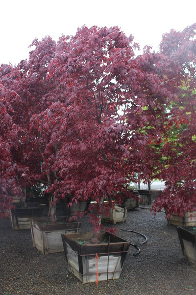 Acer palmatum 'Bloodgood' Specimen, 3 in, #30 box (2).JPG