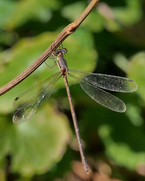 Southern Spreadwing, female