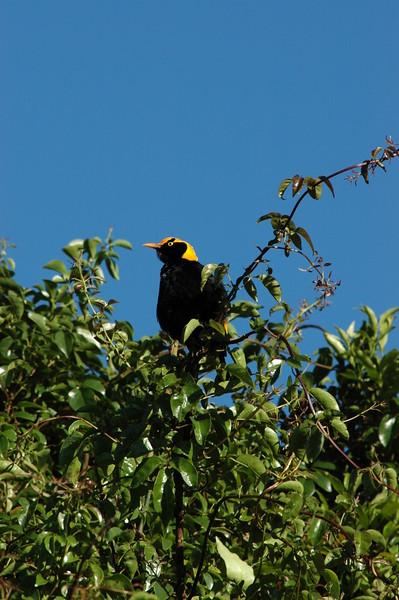 Regent Bowerbird Australia