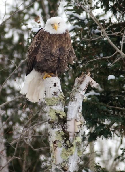 Bald Eagle CR47 Sax-Zim Bog MN IMG_2928.jpg