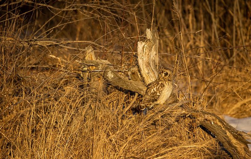 Short-eared Owl Stone Lake Road Sax-Zim Bog MN IMGC3886.jpg