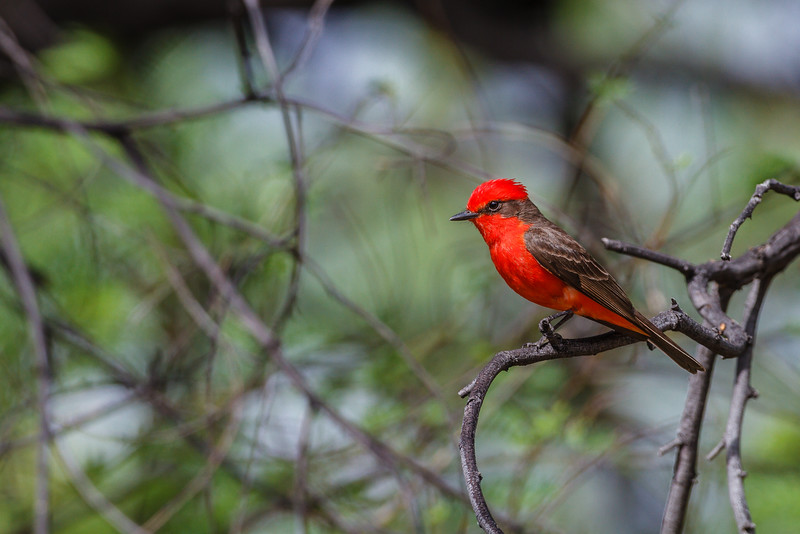 Vermilion Flycatcher at Big Bend NP, Texas