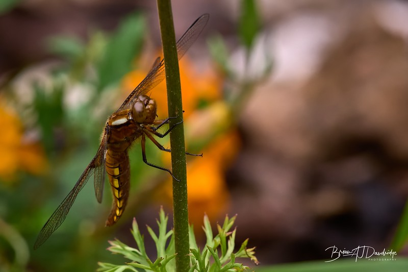 Broad-bodied Chaser-0302_DxO - 2-44 pm.jpg