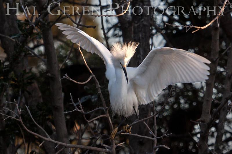 Snowy Egret Newark, California 1304N-SE12
