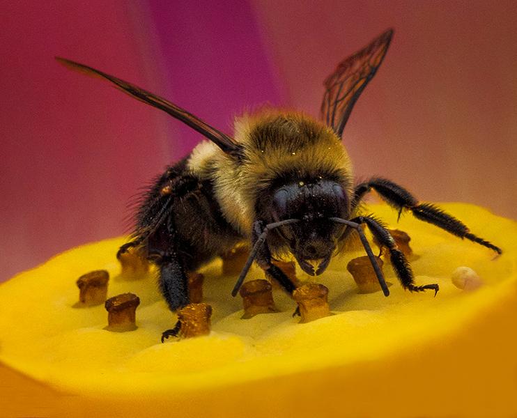 2 Bee on Lotus