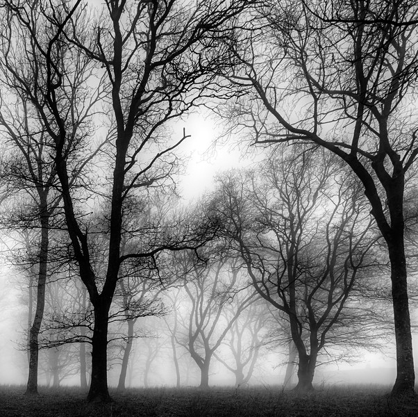 Oaks in the Mist 2.jpg