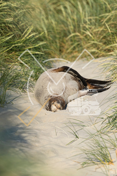 Female New Zealand Sea lion covered in a layer of sand on wet fur skin, resting in the sand dunes of the sandy Sandfly beach