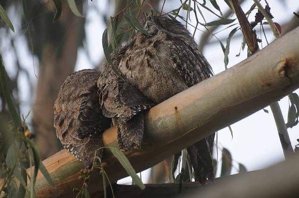 Frogmouth owls_Hackett_290312