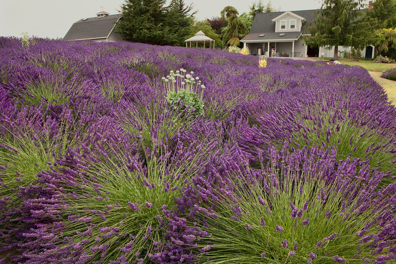 Lavender farm 1, Washington