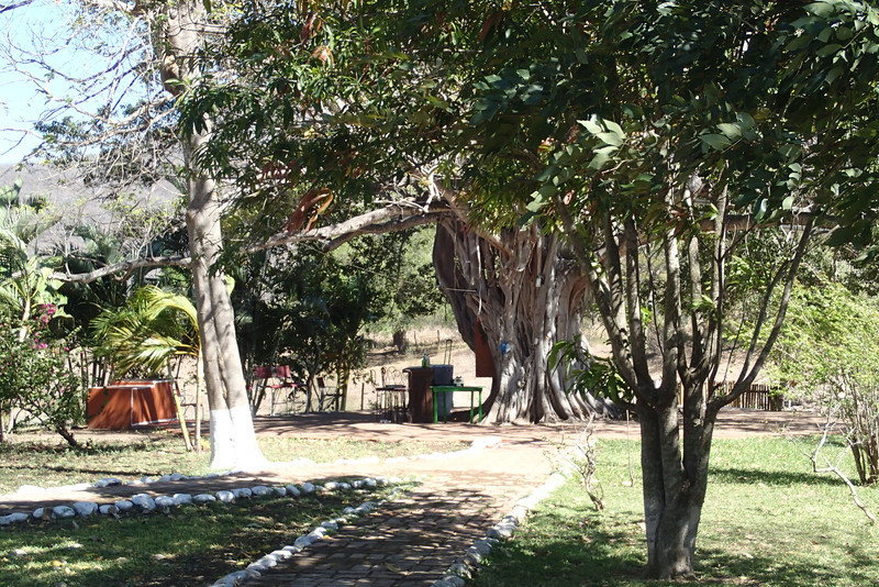 Capuli Tree and bar area.