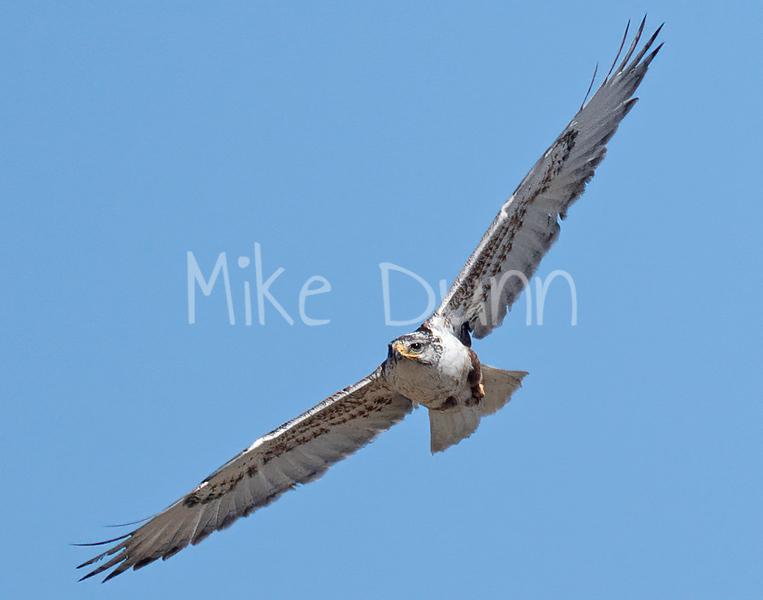 Ferruginous Hawk-167