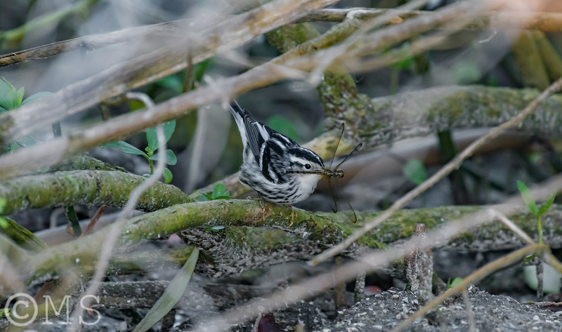 Black and White Warbler Image Gallery