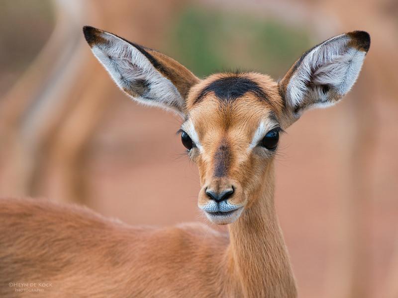 Impala, lamb, Pilansberg National Park, SA, Dec 2013-2.jpg