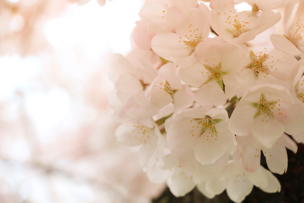 Cherry Blossoms 2014