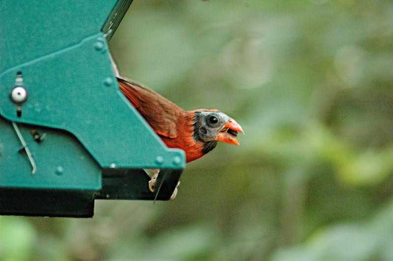 Molting Cardinal