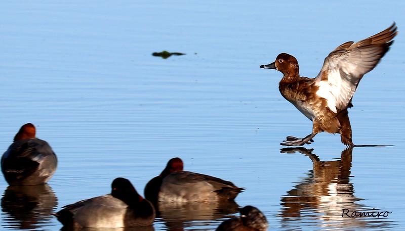 Duck IMG_4418.jpg